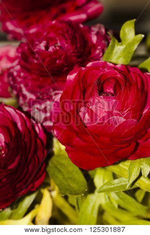 persian ranunculus flowering indoors in a pot
