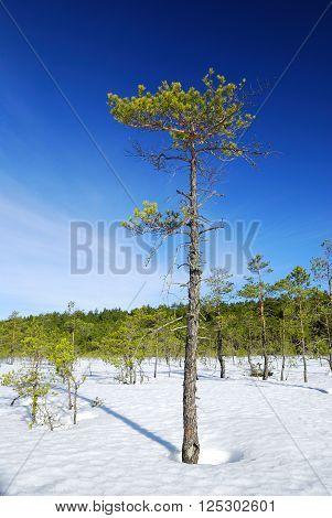 Lonely old pine tree on a snowcovered field in winter