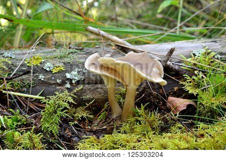 Cantharelle like mushroom next to a tree stump in forest moss