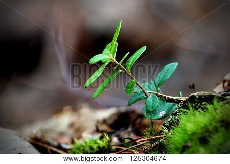 Small wild cowberry plant (Vaccinium vitis) reaching out from the ground