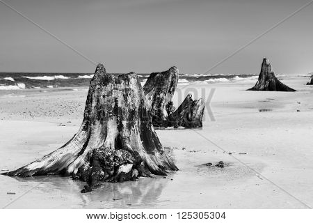 3000 years old tree trunks on the beach after storm. Slowinski National Park, Baltic sea, Poland. Unique, nature phenomenon. Black and white
