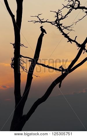 Silhouette of wild bird sitting on leafless tree against of evening sky Serengeti National Park