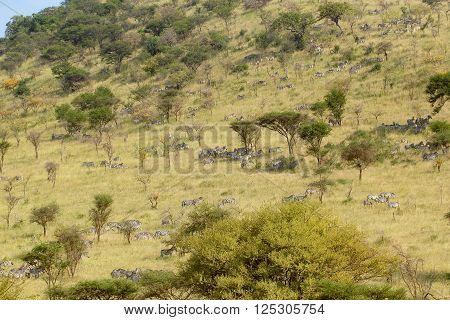 View on wild zebras walking on pasture in National Park of Tanzania