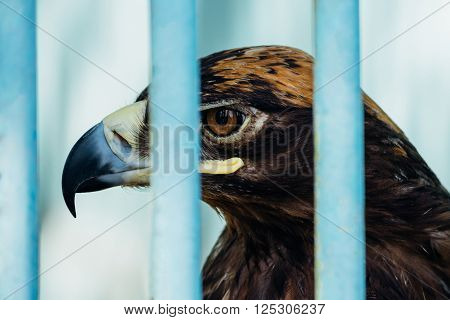 Large Portrait Of A Hawk Who Sits In A Cage