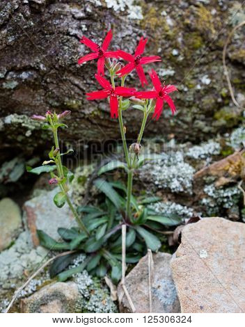 Firepink (Silene virginica) blossoms in early spring
