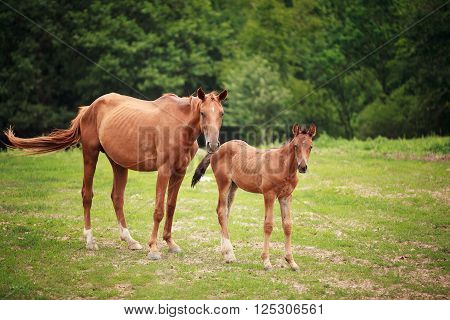 Portrait of the foal with mother at summer time