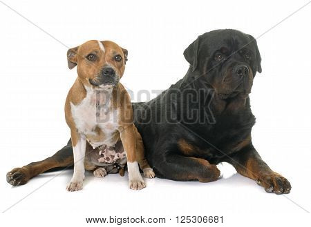 stafforshire bull terrier and rottweiler in front of white background