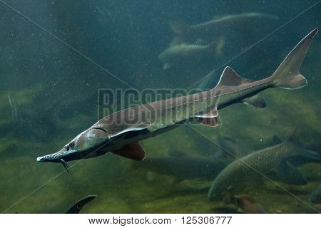 Siberian sturgeon (Acipenser baerii). Wild life animal.