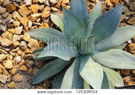 An agave seemanniana plant within the desert greenhouse in Chenshan botanical garden shanghai China.