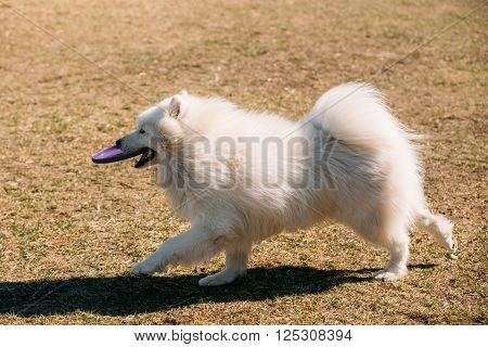 Funny White Samoyed Dog play  run with frisbee outdoor. Popular  medium size breeds.