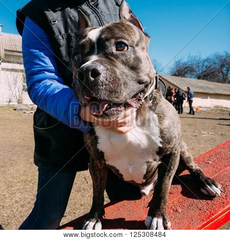 Beautiful Dog American Staffordshire Terrier on Obedience Training Outdoor