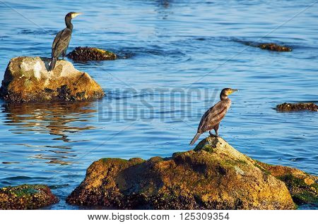 Cormorants on the Stones in the Black Sea