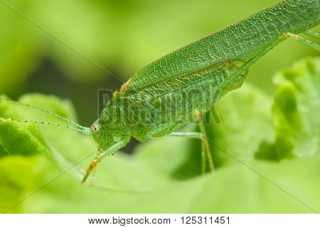 Profile view of a green grasshopper on a leave