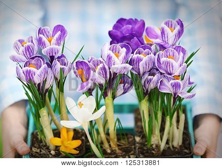 Woman holding crate with beautiful crocus flowers closeup