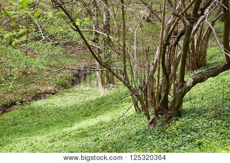 Forest With Celandine Flowers