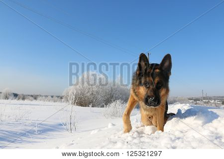 Dog German Shepherd Is Looking For A Trail