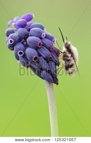 macro photography of bombylius on flower of muscari neglectum