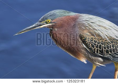 A green heron hunts for fish by the water's edge.