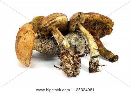 Many different fresh mushrooms on a white background
