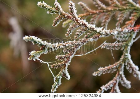 Frozen branches of juniper covered with cobwebs