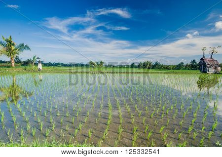 Rice paddies in UBud's  valley ,Bali, Indonesia ** Note: Visible grain at 100%, best at smaller sizes
