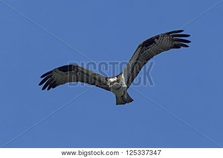 Osprey on the hunt. An osprey in north Idaho soars up in the clear blue sky.