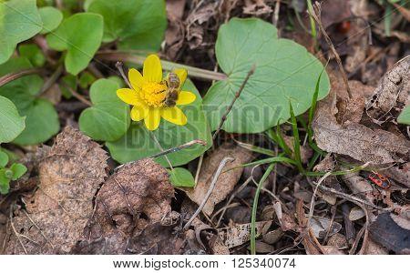 Lesser celandine flower having first bee gathering nectar in early spring garden