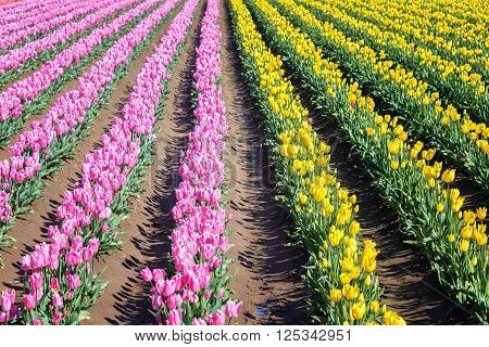 Pink And Yellow Tulip Rows