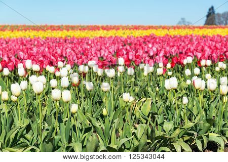 A colorful tulip field in Woodburn Oregon