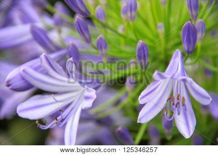 view of pale purple agapanthus africanus flower