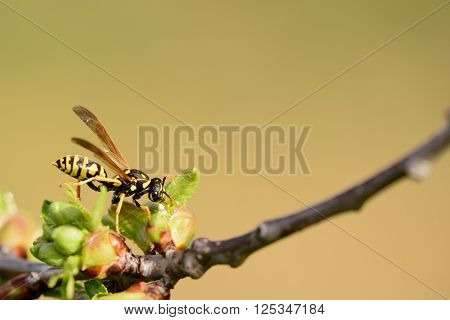 wasp is looking for something on the limb in the spring.