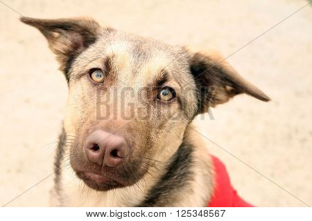 Brown Shepherd Puppy (Brown shepherd puppy with yellow eyes in a red sweater).