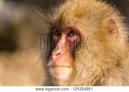 Side profile of japanese monkey