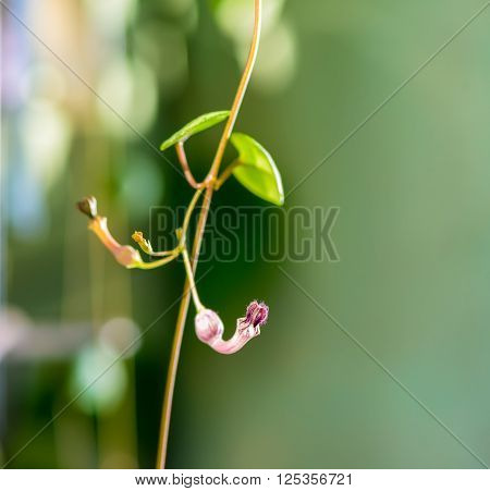beautiful twig Ceropegia Woodii with flower on natural green blur background