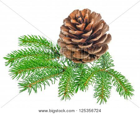 beautiful cedar pine cone and needles is isolated on white background close up