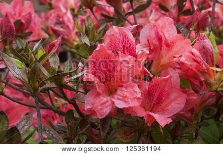 Red and pink azalea bush that is in full bloom