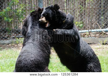 Two Grizzly American Black Bears In Battle