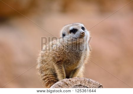One Suricates On Dry Tree