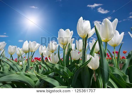 Tulips on blue sky. Composition of nature.