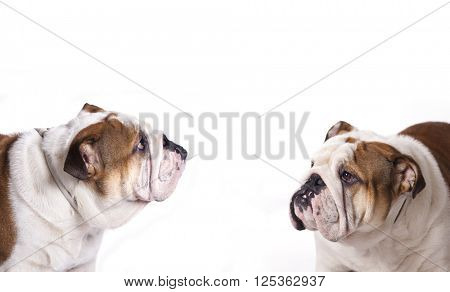 English bulldog, close-up portrait