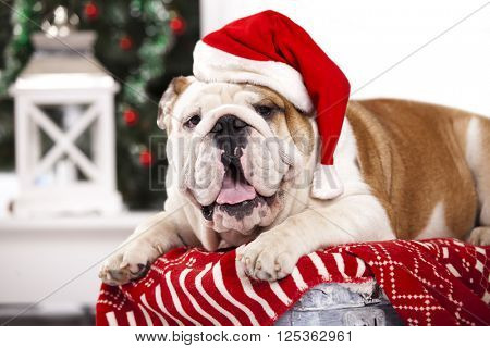 english bulldog in  santa claus hat