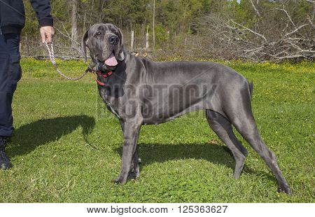 Purebred blue Great Dane standing in a field with its owner