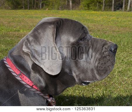 Purebred Grey Great Dane laying on some green grass
