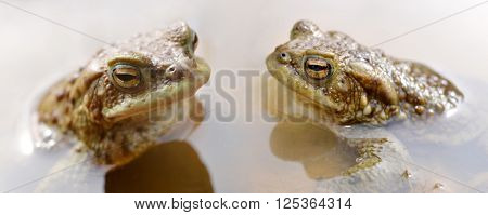 Frogs in pond. Toad ,Bufo Bufo.