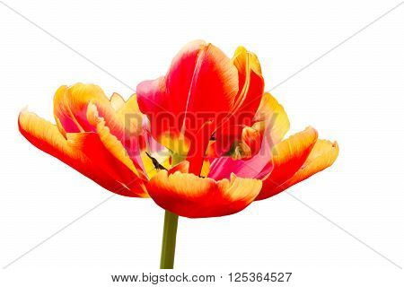 One red with yellow tulip flower isolated on white background