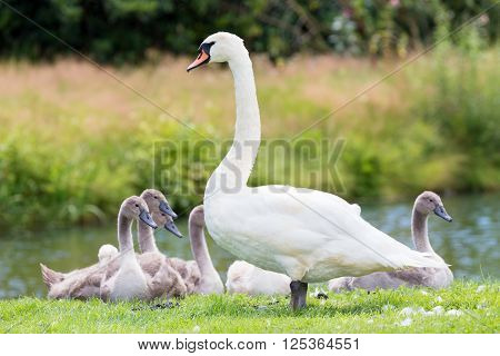 Standing white mute swan with young chicks at shoreline in nature