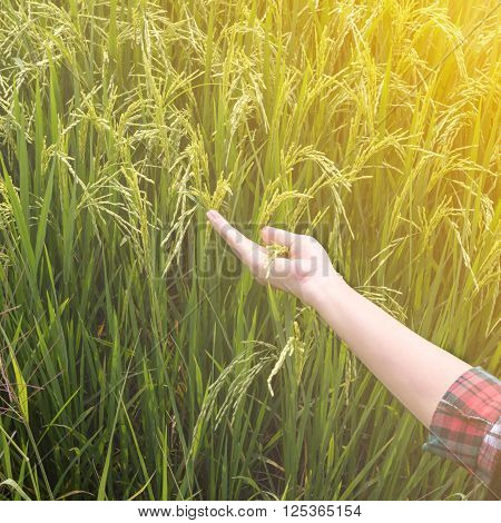 woman's hand touching green rice fields in the morning.