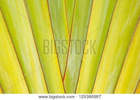 texture and pattern detail of banana fan (Ravenala)