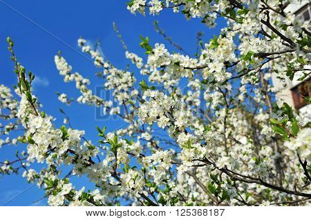 Beautiful cherry tree with fresh balmy blossom ** Note: Shallow depth of field