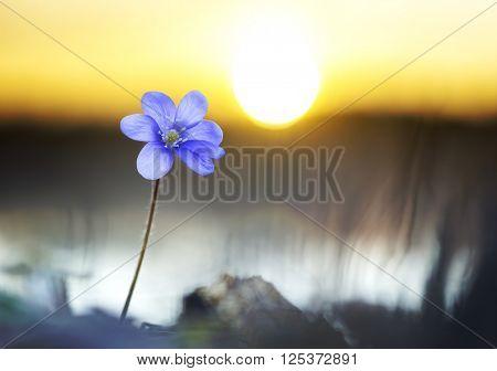 purple anemone nemorosa flower by lake at sunset